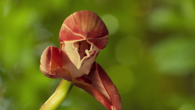 cu t/l shot of red orchid flower opening / studio city, california, united states - orchid stock videos and b-roll footage