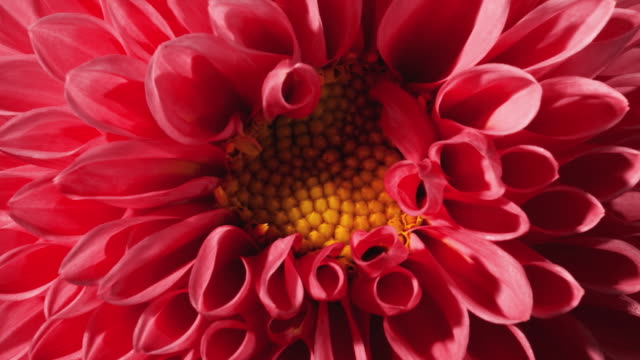 cu t/l shot of red , pink dahlia flower blooming / studio city, california, united states - 花 個影片檔及 b 捲影像