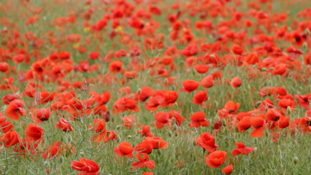ms shot of red poppies in field with swaying in wind / crimea, ukraine - poppy plant stock videos and b-roll footage