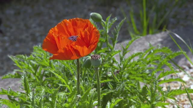 vidéos et rushes de cu shot of red poppy / northampton, united kingdom - northampton