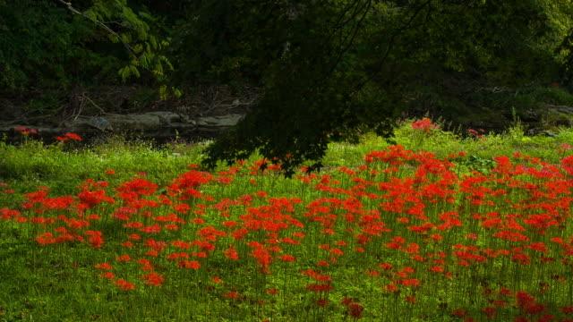 vídeos y material grabado en eventos de stock de shot of red spider lily at seonunsa temple - hymenocallis caribaea
