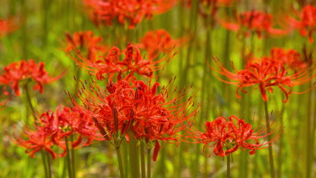 shot of red spider lily at seonunsa temple - spider lily stock videos and b-roll footage
