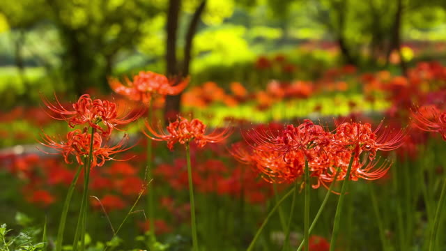 cu shot of red spider lily being in blossom / gochang, jeollabuk do, south korea - amaryllis stock videos & royalty-free footage
