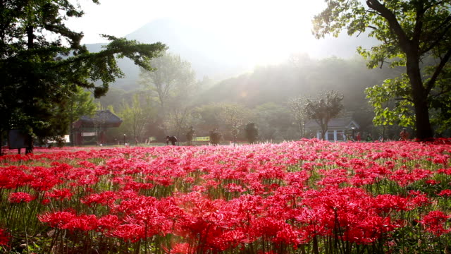 Shot of Red Spider Lily near Seonunsa Temple