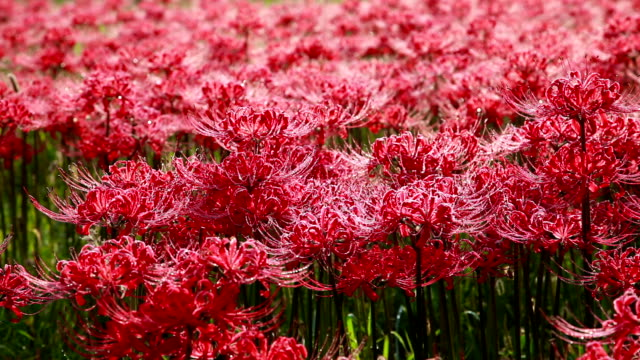shot of red spider lily near seonunsa temple - spider lily stock videos and b-roll footage