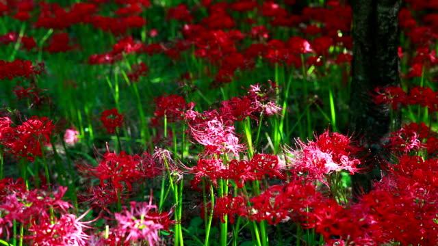 vídeos y material grabado en eventos de stock de shot of red spider lily - hymenocallis caribaea
