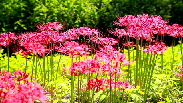 shot of red spider lily - spider lily stock videos and b-roll footage