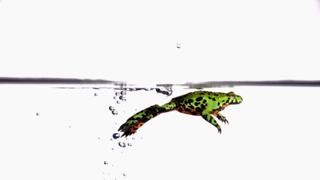 vídeos de stock e filmes b-roll de ms slo mo shot of red-bellied toad jumping into water and poking its head above surface then swimming out / studio, new jersey, united states - sapo
