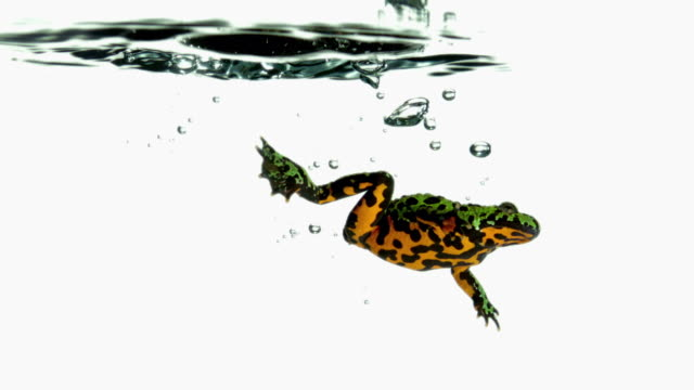 vídeos y material grabado en eventos de stock de cu slo mo shot of red-bellied toad jumping into water and swimming out of frame / studio, new jersey, united states - natación