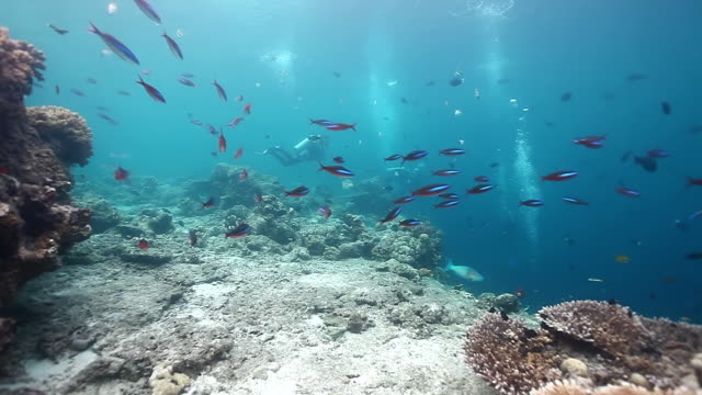 MS  Shot of Reef and fusiliers fish swimming around with divers in back side / Sipadan, Semporna, Tawau, Malaysia