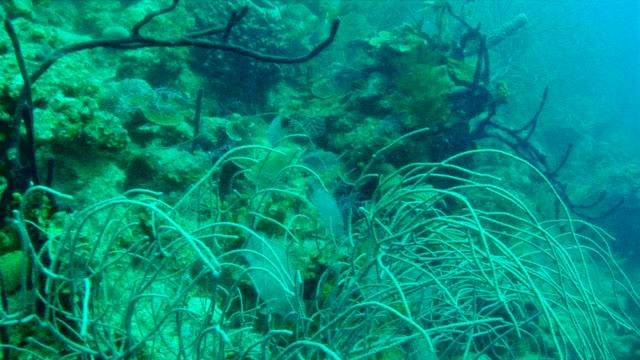 vídeos y material grabado en eventos de stock de ms  zi shot of reef with plants and some fish under water / calabash caye, belize, belize - cnidario