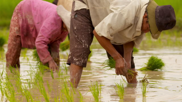 ms tu shot of reflection of farmer planting rice in flooded rice field in puok area and other croppers planting rice / siem reap, siem reap province, cambodia - cambodia stock videos & royalty-free footage