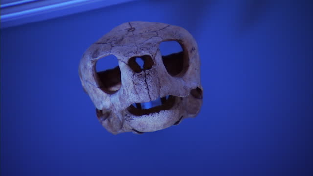 cu pan shot of reveal skull of small animal on display at national museum of dentistry / baltimore, maryland, united states - animal skull stock videos and b-roll footage