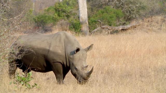 ms shot of rhino amongst leadwood trees  / kruger national park, mpumalanga, south africa - mpumalanga province stock videos and b-roll footage