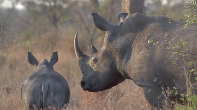 ms ts shot of rhino and calf walking in grass  / kruger national park, mpumalanga, south africa - rhinoceros stock videos & royalty-free footage