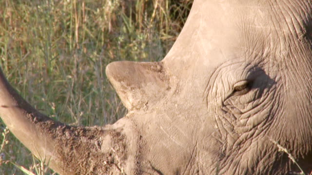 stockvideo's en b-roll-footage met ecu shot of rhino horn  / kruger national park, mpumalanga, south africa - gehoornd