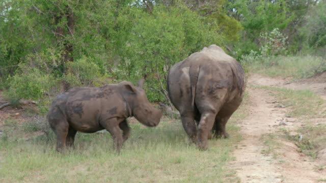 ms pan shot of rhino mother and young grazing / hoedspruit, mpumalanga, south africa - 厚皮動物点の映像素材/bロール
