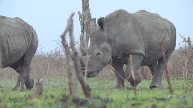 ms slo mo ts shot of rhino walking / kruger national park, mpumalanga, south africa - mpumalanga province stock videos and b-roll footage