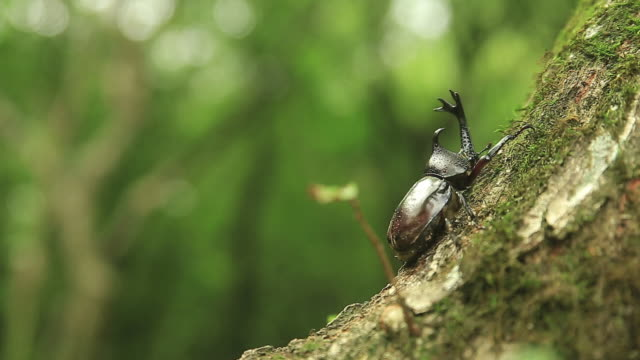 vídeos y material grabado en eventos de stock de shot of rhinoceros beetle climbing tree - dynastinae
