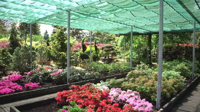 ms shot of rhododendron under awning in nursery / saarburg, rhineland palatinate, germany - rhododendron stock videos and b-roll footage