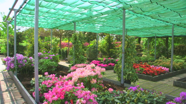 ms shot of rhododendron under awning in nursery / saarburg, rhineland palatinate, germany - plant nursery stock videos and b-roll footage