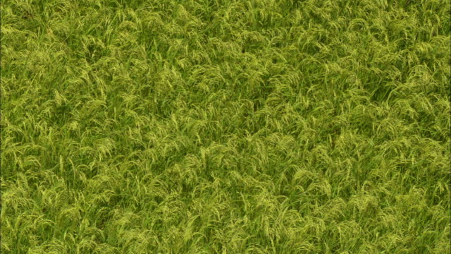vídeos de stock, filmes e b-roll de shot of rice plant swaying in wind in yunnan province, china - yunnan province