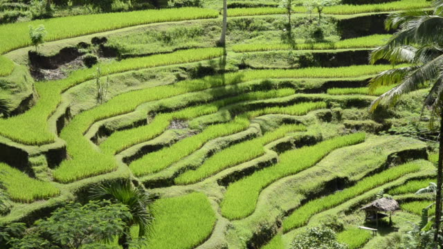 MS Shot of rice terraces / Tegallalang, Bali, Indonesia