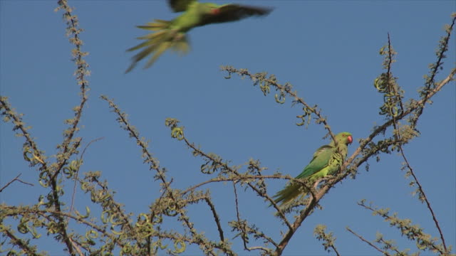 MS PAN Shot of Ring necked parakeets landing on tree / Eilat, Arava, Negev Desert, Israel