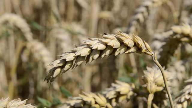 cu shot of ripe spike in wheat field / mainburg, bavaria, germany - ear of wheat stock videos and b-roll footage