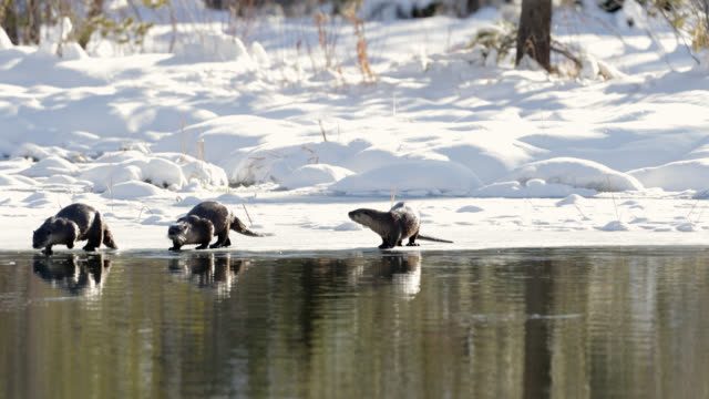 ms 4k shot of river otters (lontra canadensis) playing/fishing in a pond in the fresh snow - グランドティトン国立公園点の映像素材/bロール
