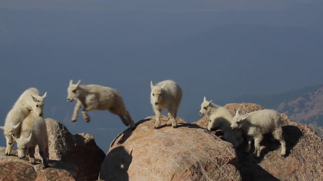 MS  shot of rocky mountain goat kids (Oreamnos americanus) playing and jumping on the boulders at 14000'