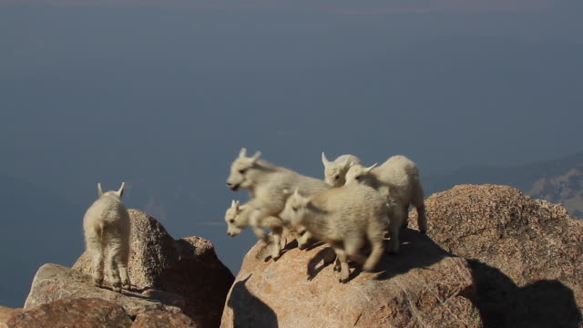 ms  shot of rocky mountain goat kids (oreamnos americanus) playing and jumping on the boulders at 14000' - young animal stock videos & royalty-free footage