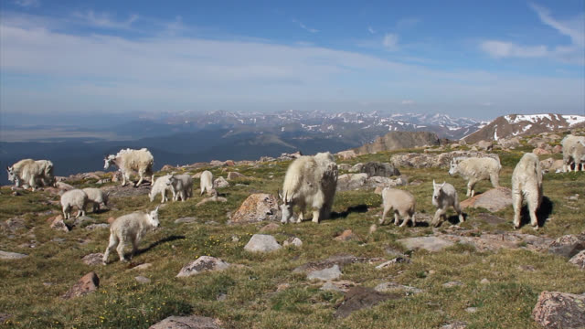 WS 4K shot of rocky mountain goats (Oreamnos americanus) playing and interacting on the high mountain tundra