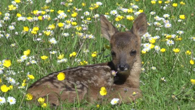 vidéos et rushes de cu shot of roe deer resting in blooming meadow / calvados, normandy, france - normandie