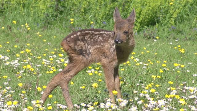 vídeos y material grabado en eventos de stock de ms shot of roe deer standing in blooming meadow / calvados, normandy, france - cervato