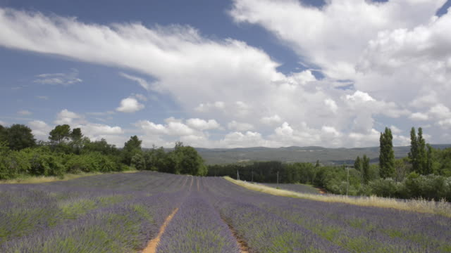 td shot of rows of lavender in a field - luberon stock-videos und b-roll-filmmaterial