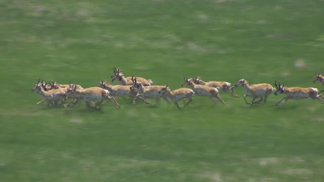 MS AERIAL Shot of Running antelope in Nebraska National Forest / Nebraska, United States