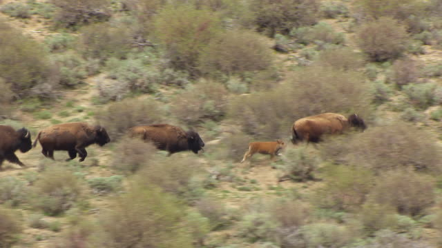 ms aerial ts shot of running bison in colorado plateau / utah, united states - medium group of animals stock videos & royalty-free footage