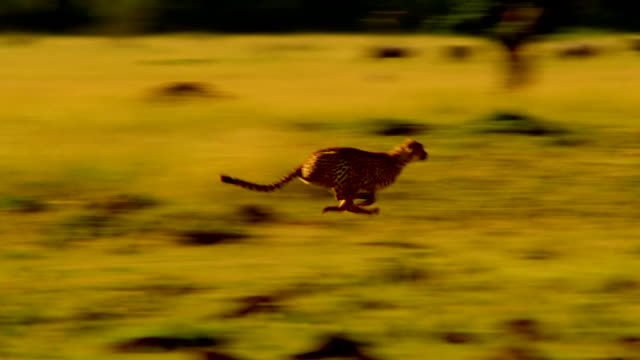 ms ts shot of running cheetah / masai mara, kenya - cheetah stock videos and b-roll footage