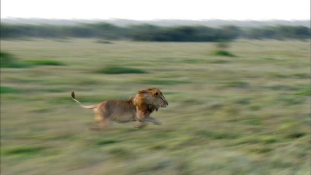 shot of running lion - lion stock videos & royalty-free footage