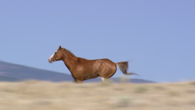 ws aerial zo ts shot of running mustang / wyoming, united states - pferd stock-videos und b-roll-filmmaterial
