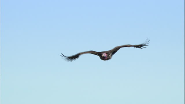 Shot of Ruppell's Griffon Vulture flying