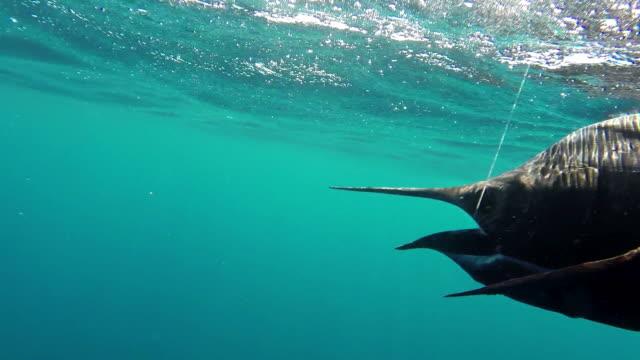 cu ts shot of sailfish fighting on fishing line under water / iztapa, guatemala - fishing line stock videos & royalty-free footage