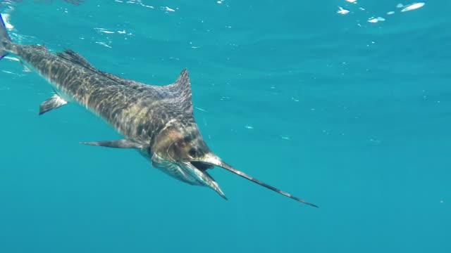 cu ts shot of sailfish on fishing line under water / iztapa, guatemala - fishing line stock videos & royalty-free footage