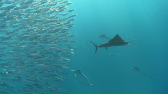 ms ts shot of sailfish schooling to hunt bait ball / playa del carmen, isla mujeres, mexico - bait ball stock videos & royalty-free footage