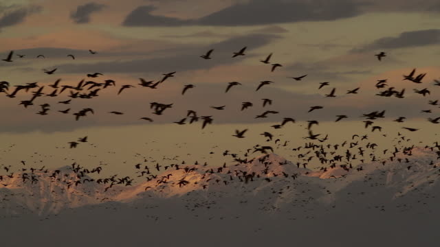 WS shot of sandhill cranes (Grus canadensis) flying in front of the snow capped mountains at sunset, with sound.