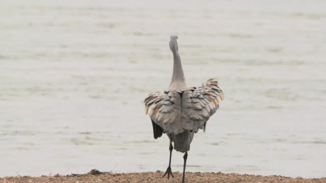 ms slo mo shot of sandhill cranes, grus canadensis near river / kearney, nebraska, united states - sandhill crane stock videos & royalty-free footage