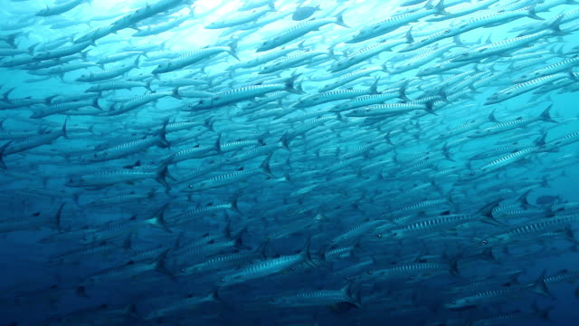 ms shot of school of barracuda fish / sipadan, semporna, tawau, malaysia - sabah state stock videos and b-roll footage