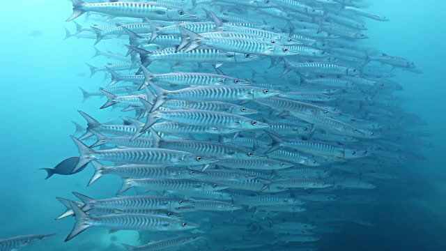 ms shot of school of barracuda fish / sipadan, semporna, tawau, malaysia - school of fish stock videos & royalty-free footage
