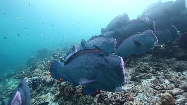 ms shot of school of bumphead parrotfish swimming in blue water/ sipadan, semporna, tawau, malaysia - parrotfish stock videos & royalty-free footage